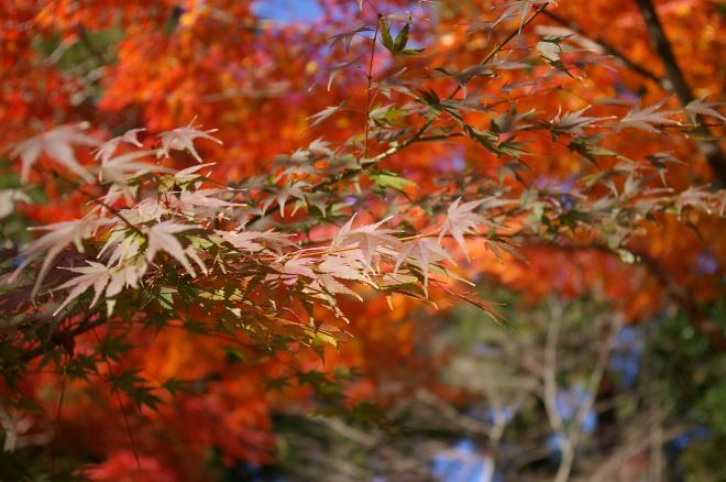 成田山公園の紅葉⑳