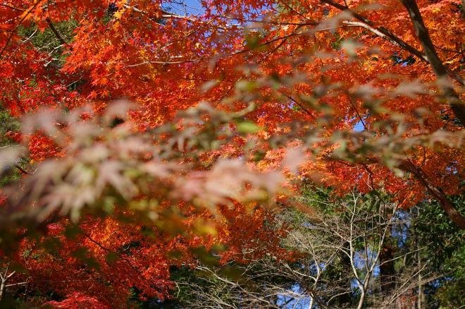 成田山公園の紅葉⑲