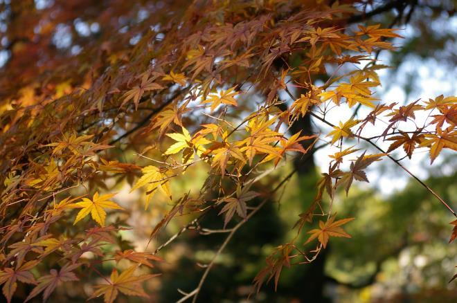 成田山公園の紅葉⑤