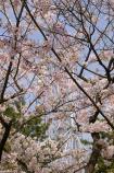 桜と観覧車③