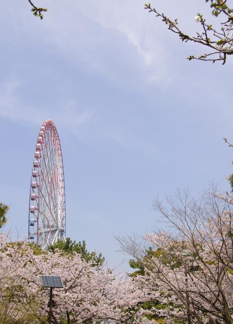 桜と観覧車②