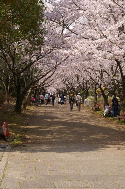 桜のトンネル①