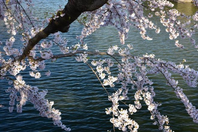 お堀に桜が