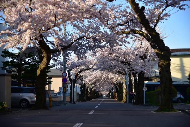 桜ヶ丘通の桜並木