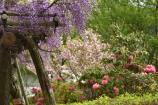 藤棚と八重桜