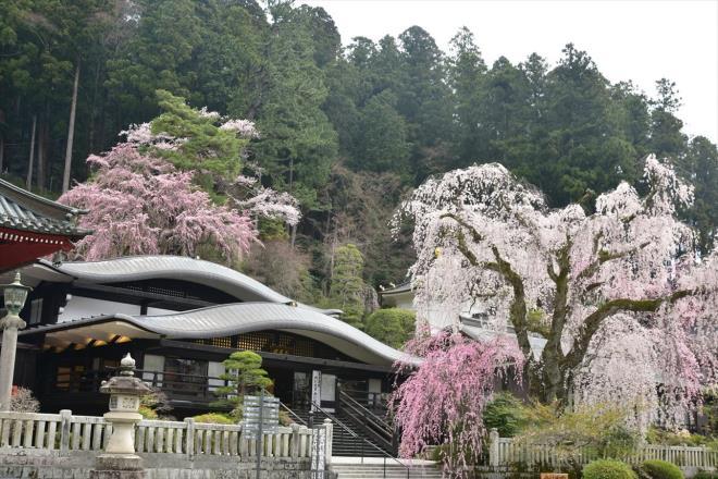 表紙の写真はこのピンクのしだれ桜です
