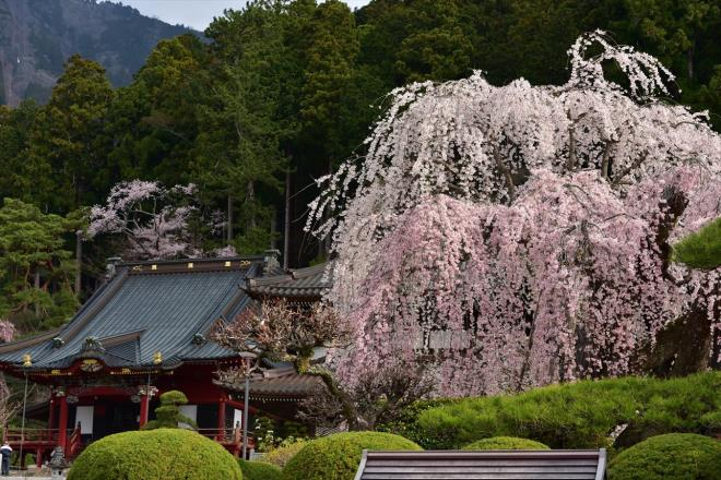 樹齢400年しだれ桜