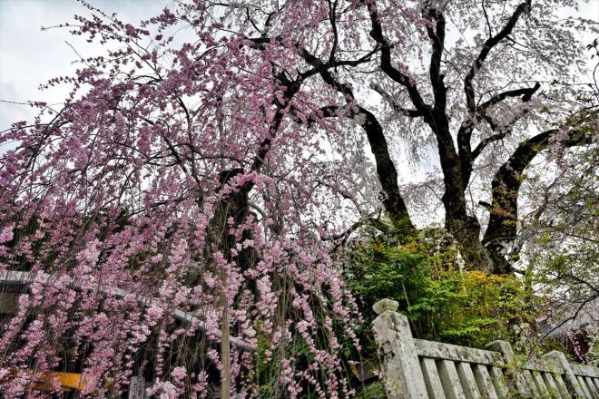 樹齢300年しだれ桜