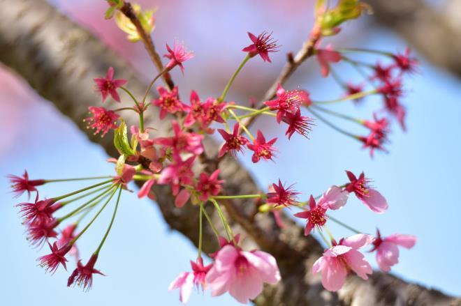萼片(桜はヨウコウ)