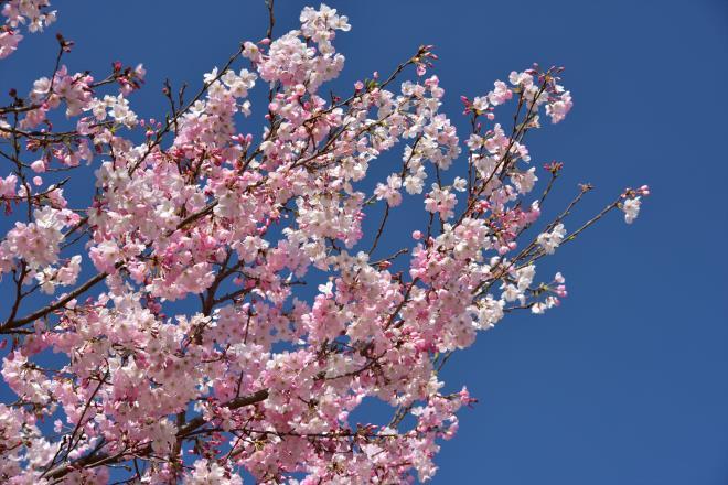 これからの桜です