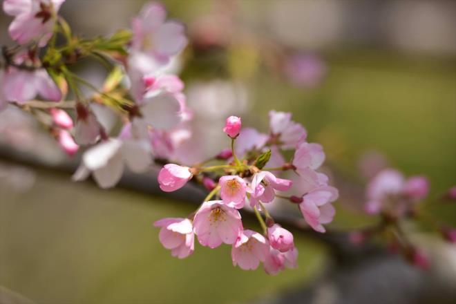 神代曙(ジンダイアケボノ) 桜