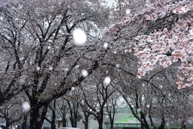 ピンク桜と雪玉