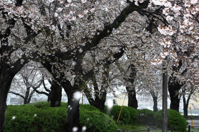 満開の桜に雪が降る
