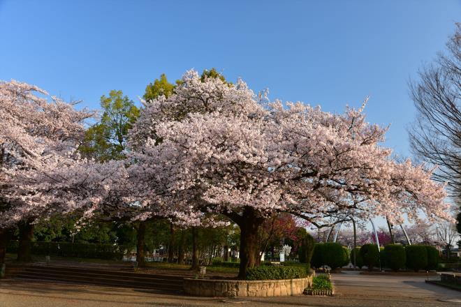 大きな盆栽桜