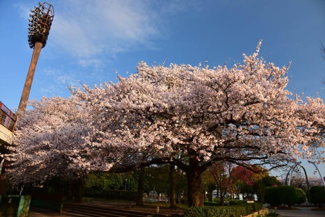 横山公園の桜