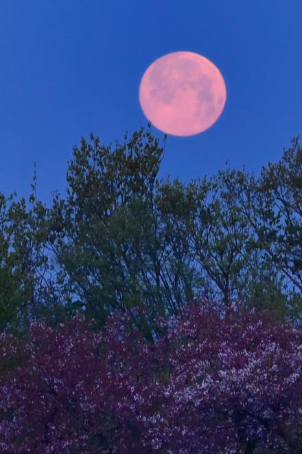 ピンクの満月