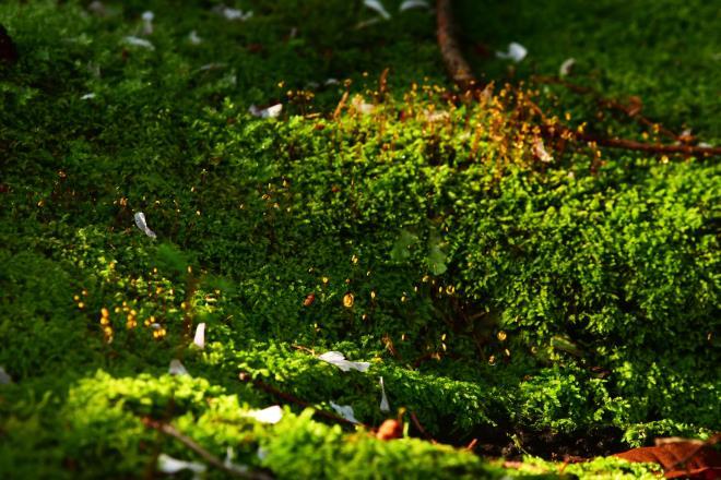 雨上がりの苔