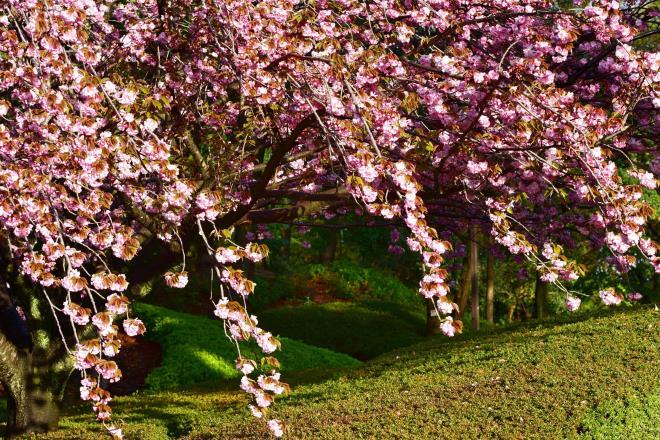 横山公園の八重桜が満開です