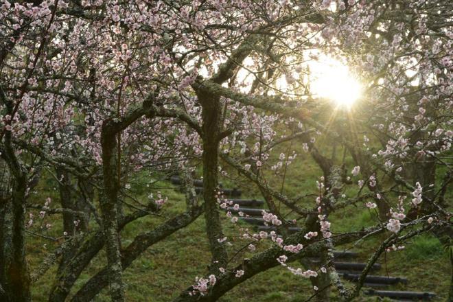 梅林に陽が差し込んできました