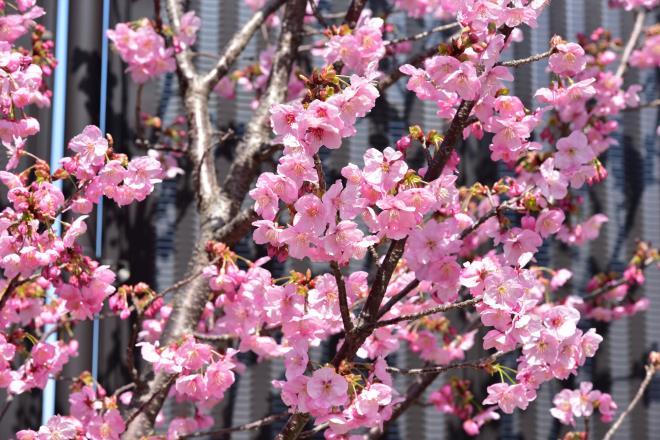 まだ3mぐらいの桜です