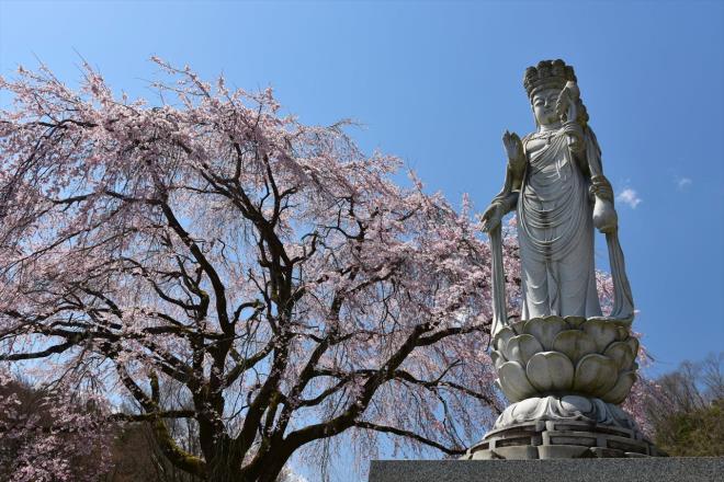 観音様もしだれ桜を祈っていますよ