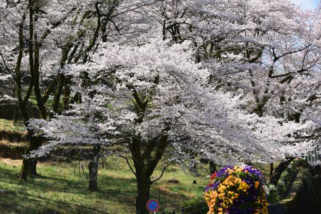 この桜だけに光が