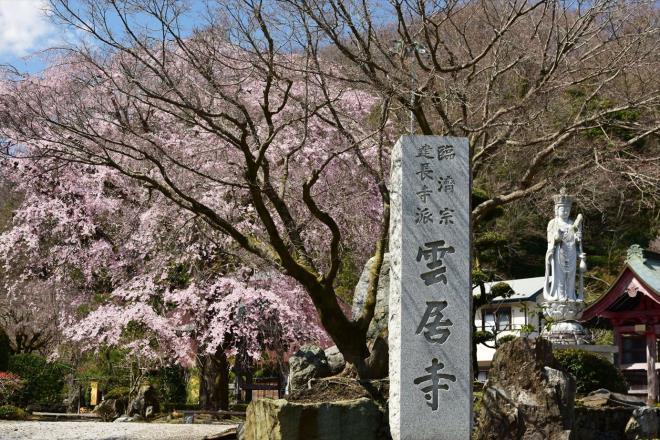 美人桜(雲居寺)