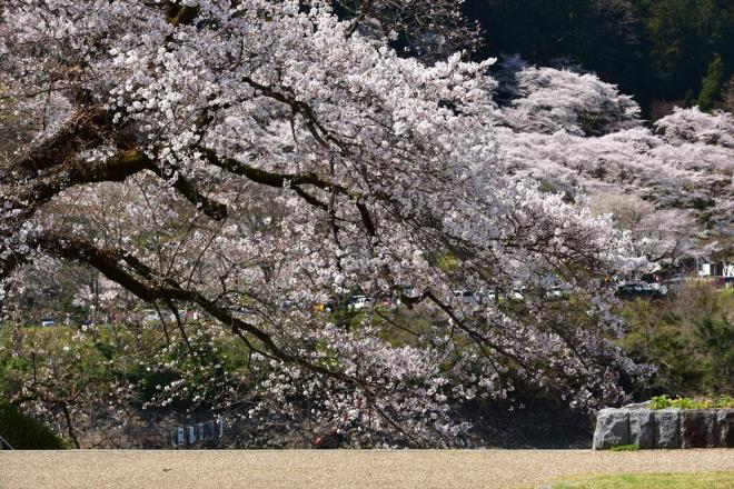 手前の桜も魅力的です