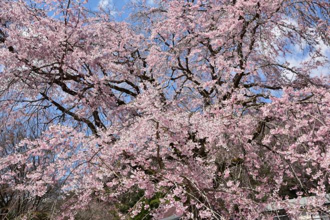 瀧のようなしだれ桜