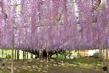 樹齢160年の大藤(A)