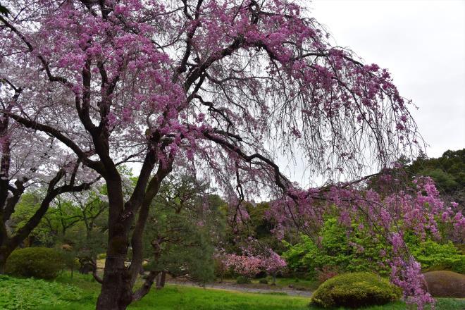 日本庭園脇の枝垂桜