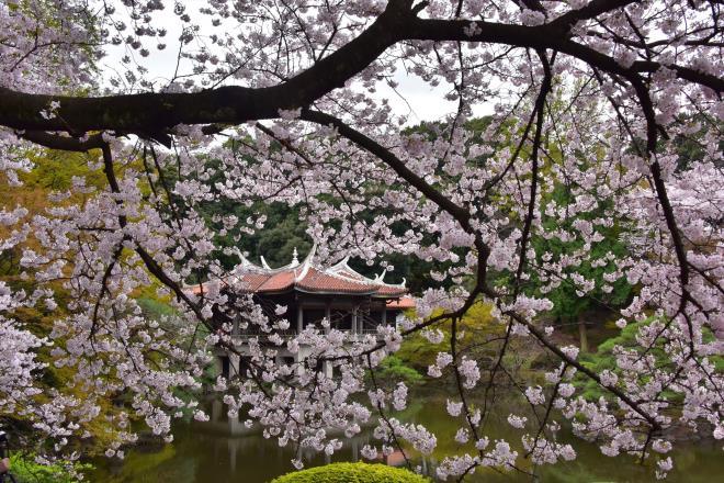 旧御凉亭の桜