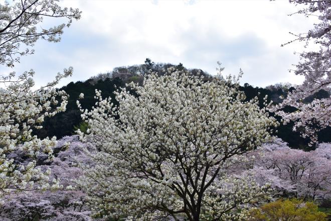 ジューンベリー満開(津久井湖)