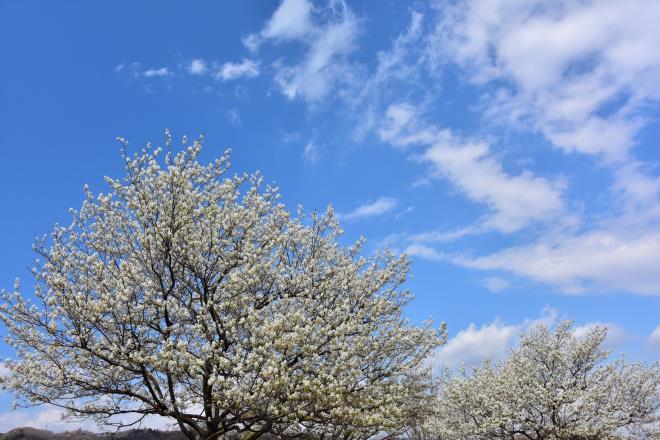 青空にジューンベリー(津久井湖)