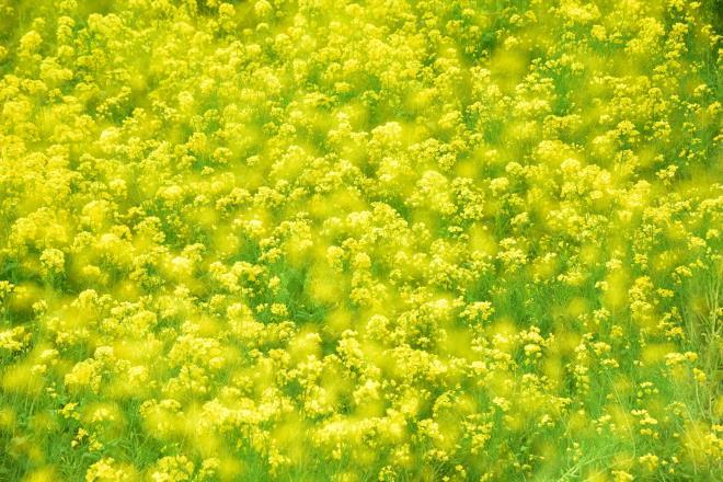 黄色いじゅうたん(津久井湖の上の山)