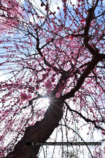 しだれ梅の輝き
