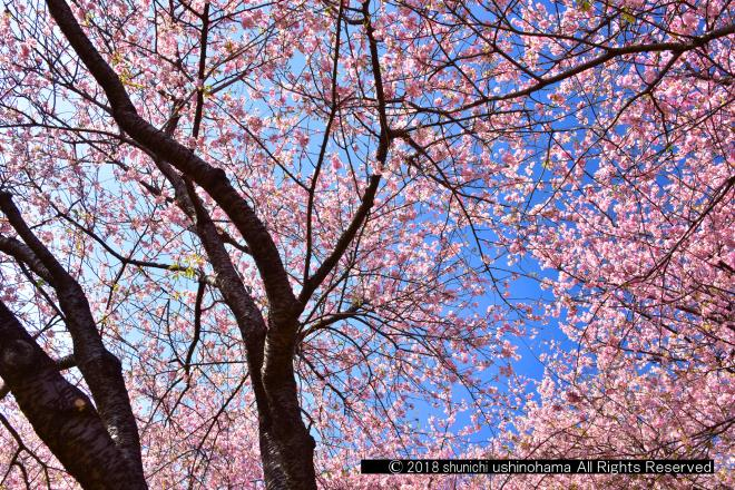 空を飾る桜