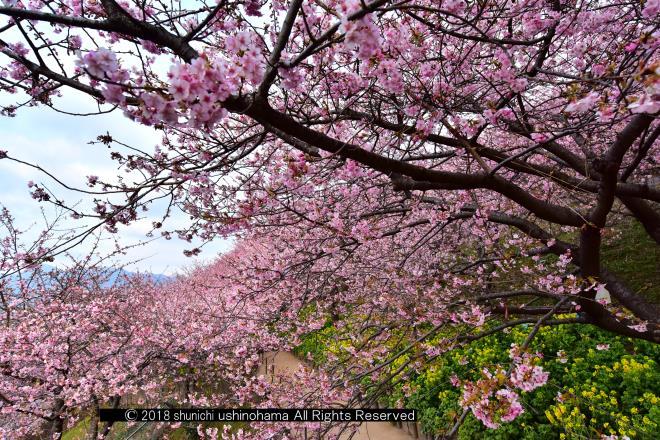 俯瞰する桜
