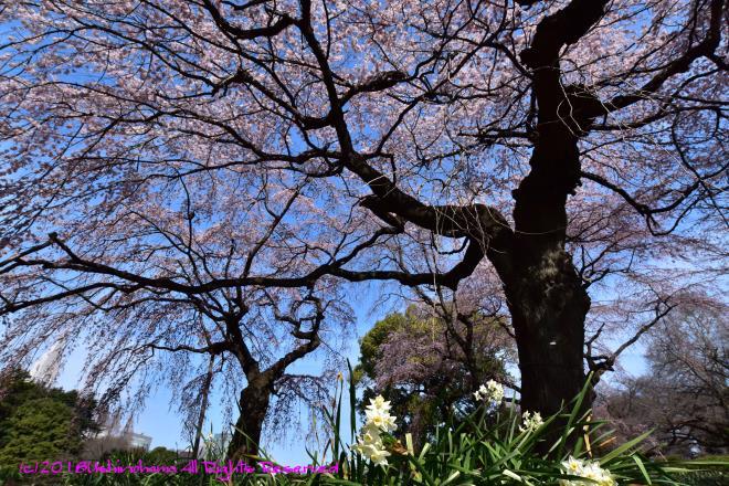 9337 覆う桜枝
