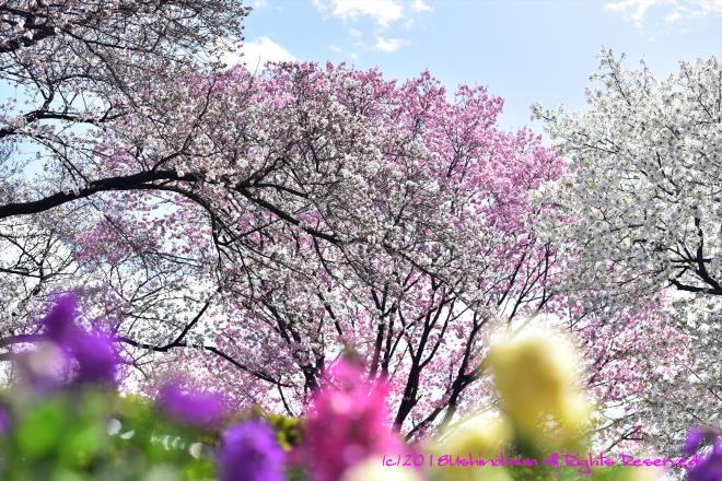 0329 満開の春