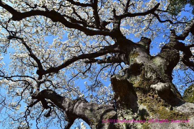 9069 巨樹のハクモクレン
