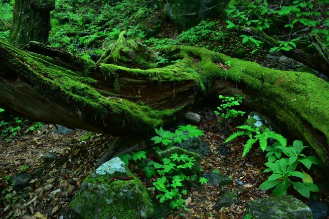 倒木はすっかり苔に埋もれています。