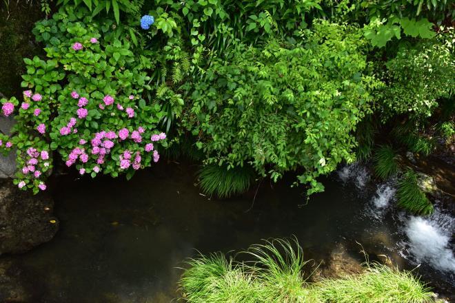 川沿いの紫陽花