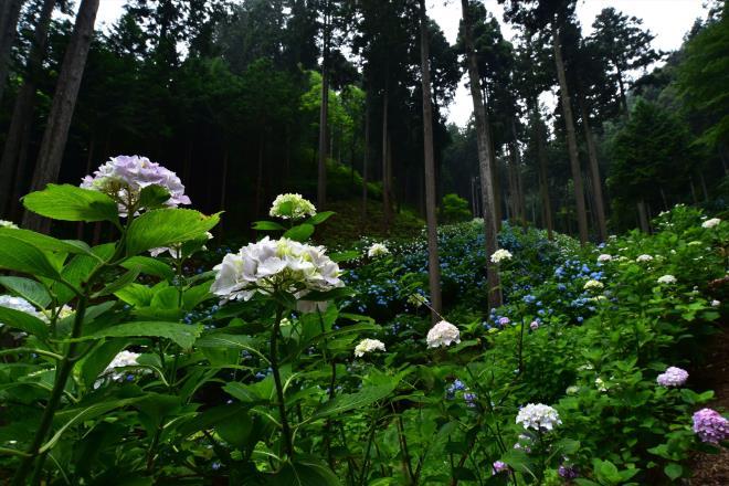 紫陽花の山