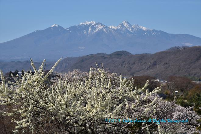 残雪の八ヶ岳とスモモの花