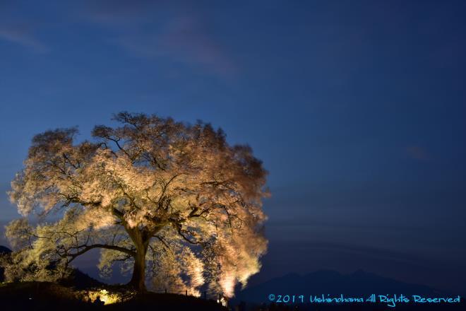 ライトアップのわに塚の桜