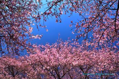 空を覆う河津桜