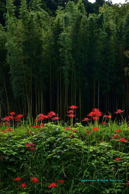 竹林と彼岸花