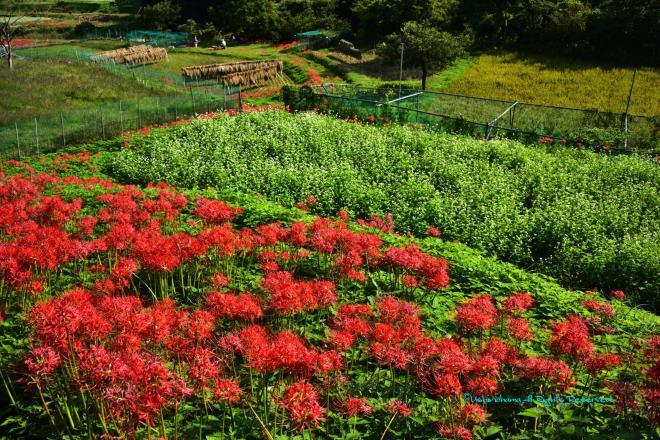 彼岸花と蕎麦畑