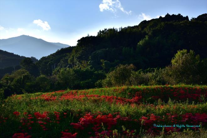 彼岸花咲く山里